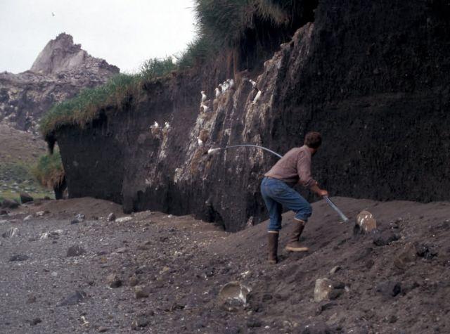 Common Murre noosing on Bogoslof Island Picture
