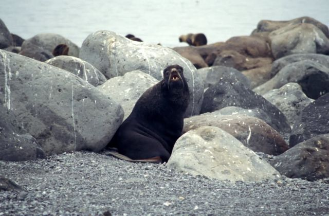 Northern Fur seal Bogoslof Island Picture