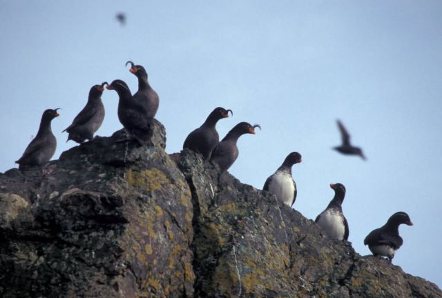 Parakeet and Crested Auklets on Hall Island Picture