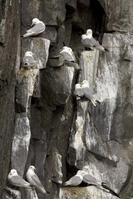 Black-legged Kittiwake nests, Castle Rock, Shumagin Islands Picture