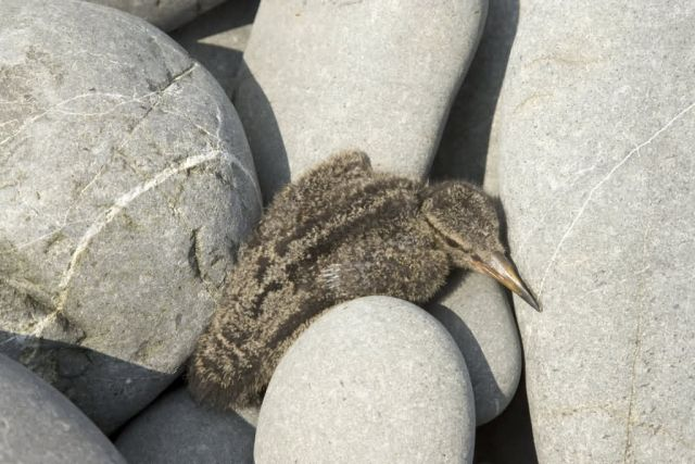 gull chick on Bendel Island, (Shumagins) Picture