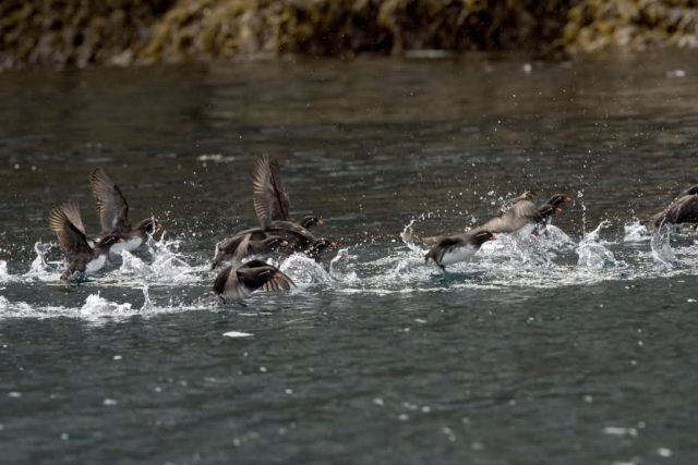 Parakeet Auklet flight, Castle Rock, Shumagin Islands Picture