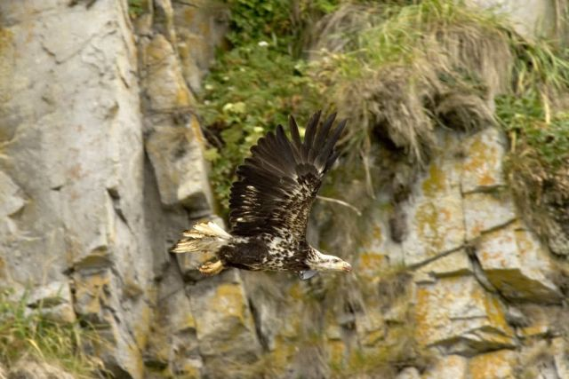Bald Eagle, juvenile, Castle Rock, Shumagin Islands Picture
