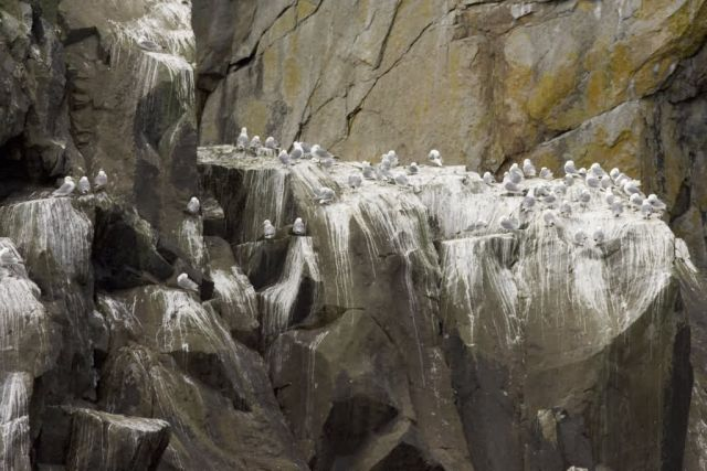Black-legged Kittiwakes, Castle Rock, Shumagin islands Picture