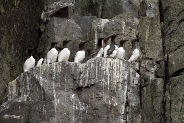Common Murres, Castle Rock, Shumagin Islands Picture