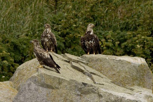 Bald Eagles,juveniles, Castle Rock, Shumagin Islands Picture
