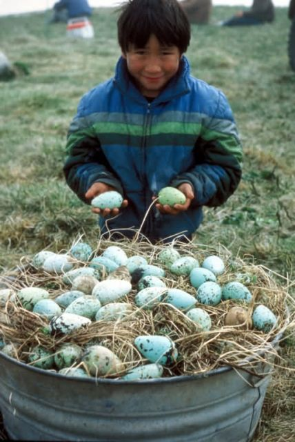 St. Paul Island local with Murre egg harvest Picture