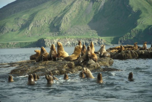 Amak Island, Steller's Sea Lion haul out Picture