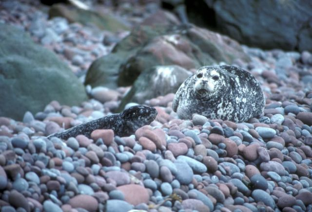Buldir Island, Harbor seal and pup Picture