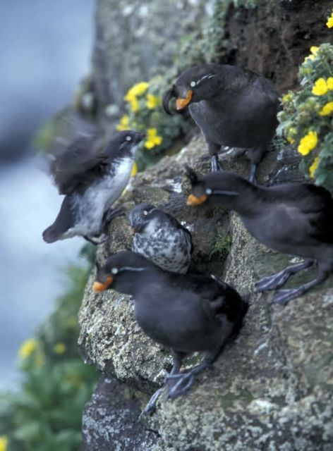 Least and Crested Auklets Picture