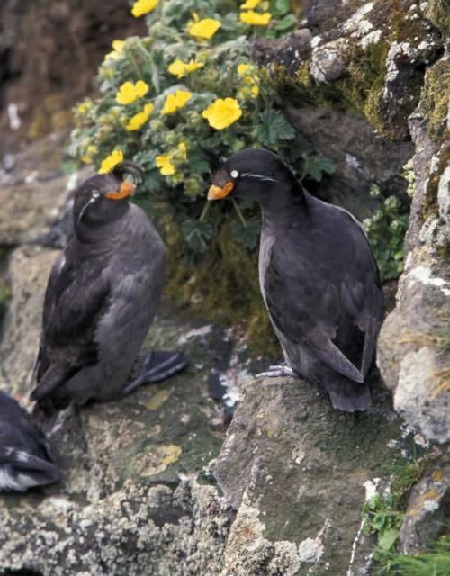 Crested Auklet pair Picture
