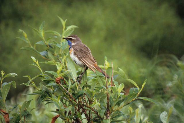Bluethroat Male Picture