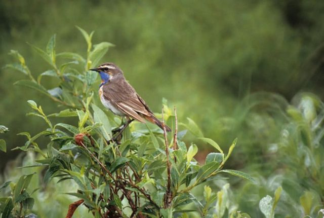 Bluethroat Male Picture