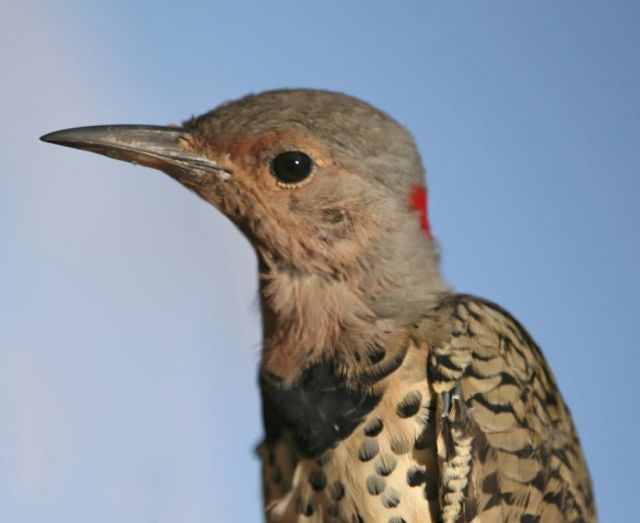 Northern Flicker, Yellow-shafted Picture