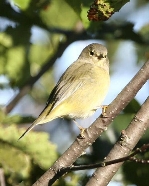 Orange-crowned Warbler Picture