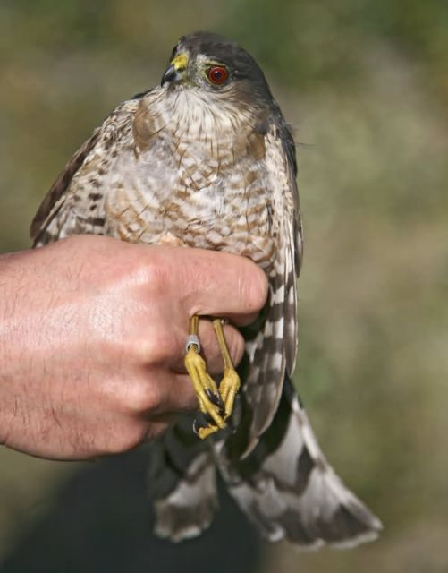 Sharp-shinned Hawk Picture