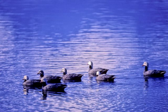Emperor Geese on Water Picture