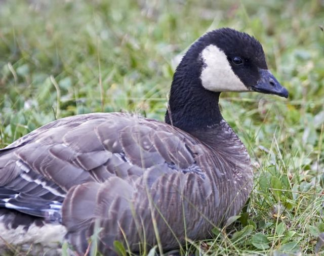 Cackling Goose Picture