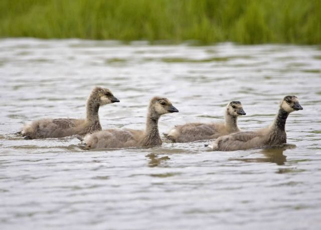 Cackling Goose Goslings Picture
