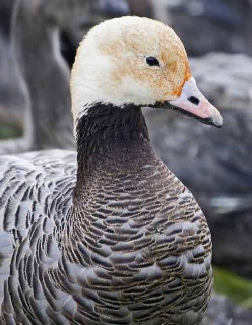 Emperor Goose Picture