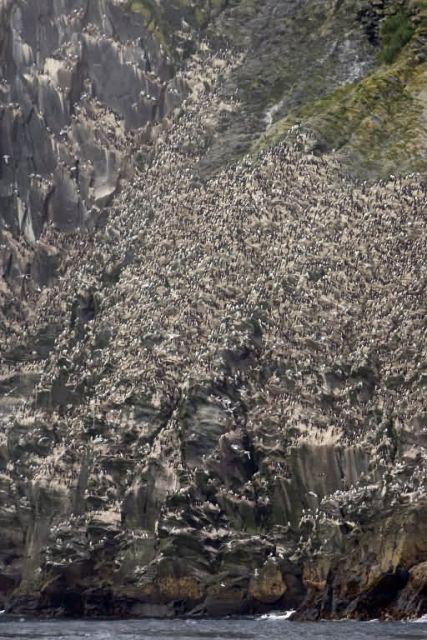 Murre colony, Chagulak Island Picture