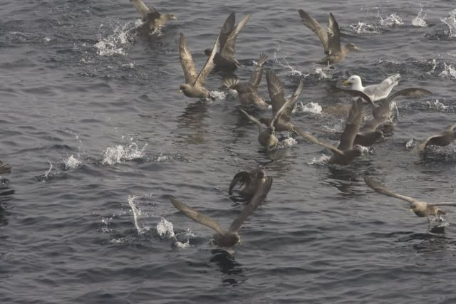 Northern Fulmars near Chagulak Picture