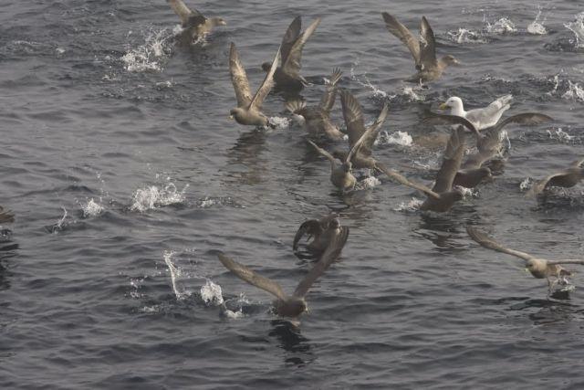 Northern Fulmars near Chagulak Picture