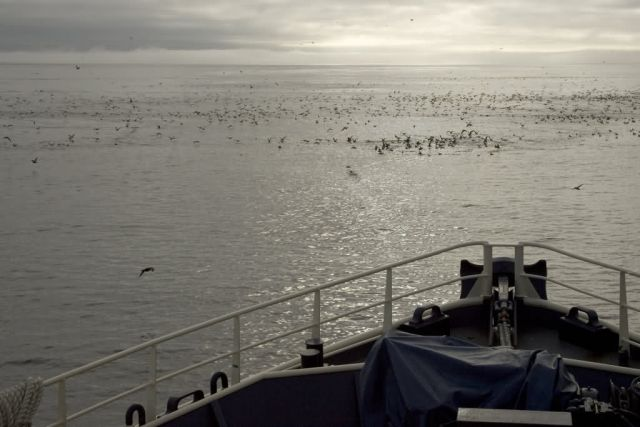 Seabirds off Tiglax bow near Chagulak Island Picture