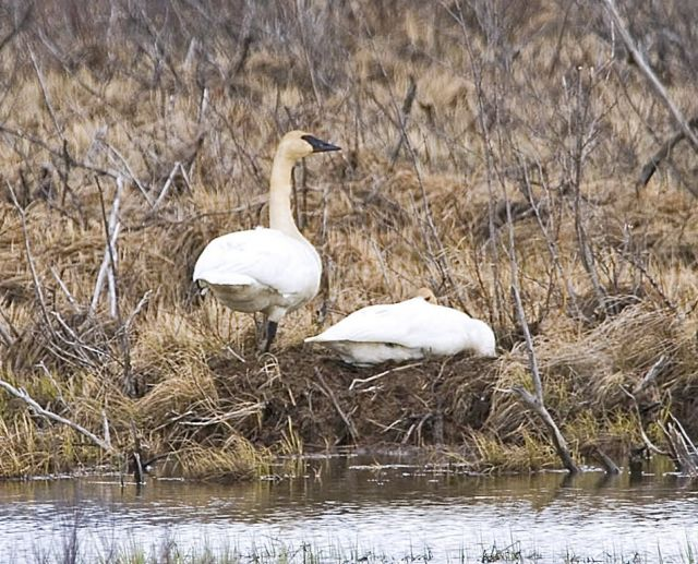 Trumpeter Swan Pair at Nest Picture