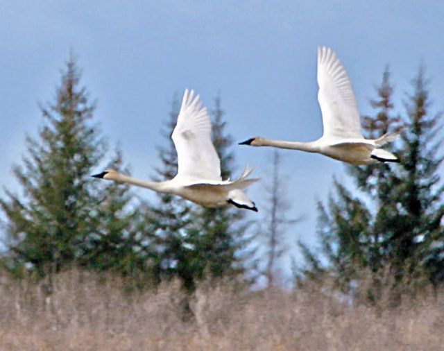 Trumpeter Swans in Flight Picture