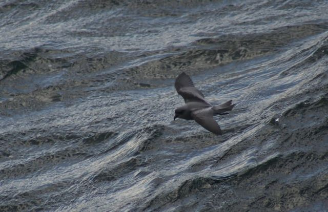 Fork-tailed Storm-Petrel Picture