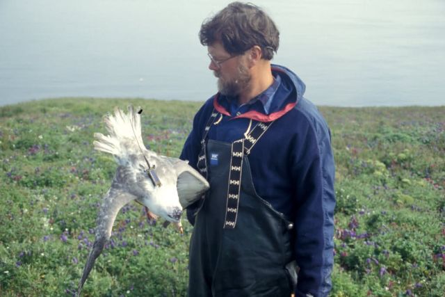 Northern Fulmar with transmitter on Hall Island Picture