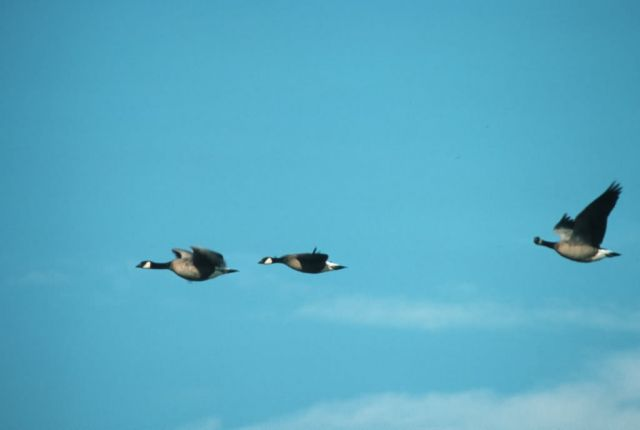 Canada Goose Trio in Flight Picture