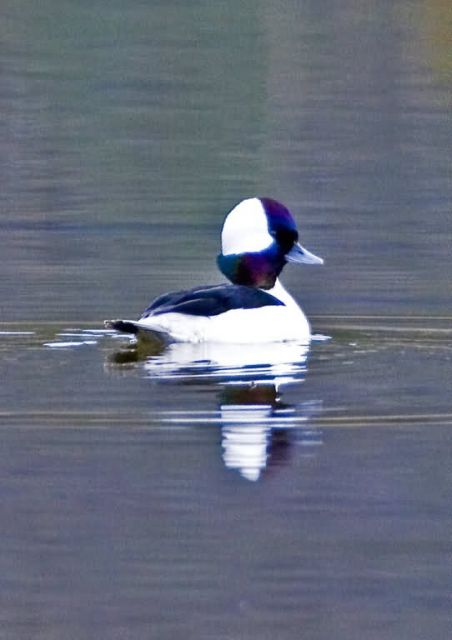 Bufflehead Drake Picture