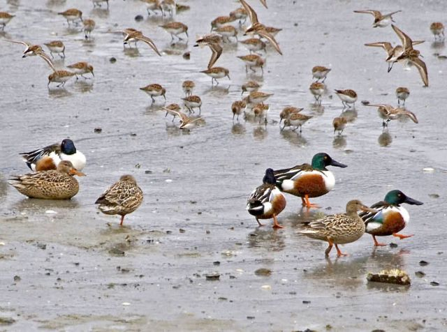 Northern Shovelers Picture
