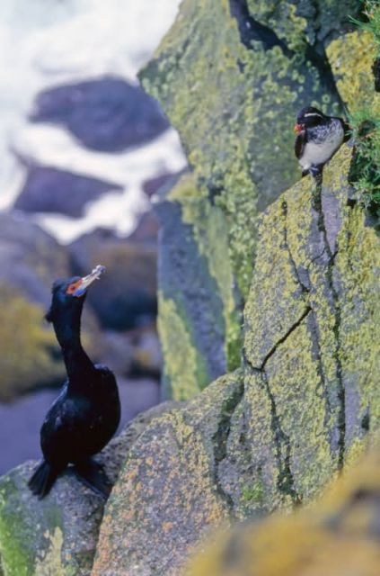 Red-faced Cormorant and Parakeet Auklet Picture