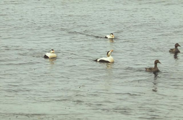 Common Eider Drakes and Hens Picture