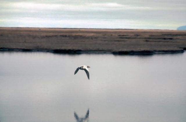 Spectacled Eider Drake in Flight Picture