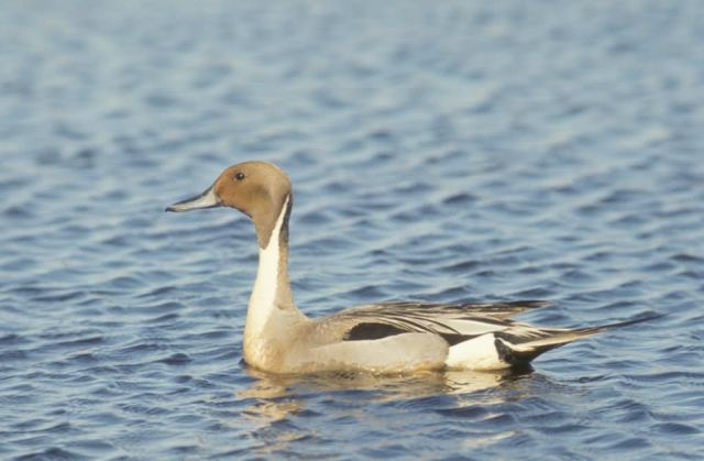 Pintail Duck Drake Picture
