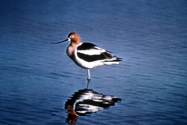 American Avocet Picture