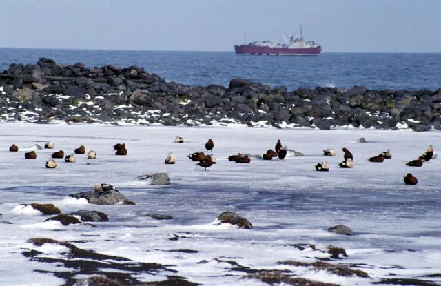 King Eiders, oiled with freighter Picture