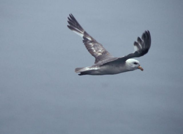 Northern Fulmar near Hall Island Picture