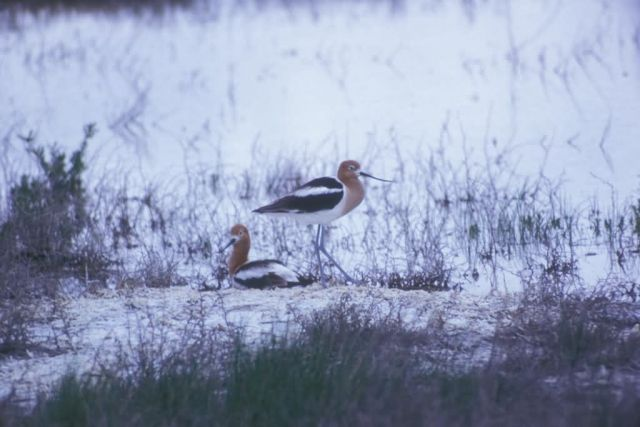 American Avocet Pair Picture