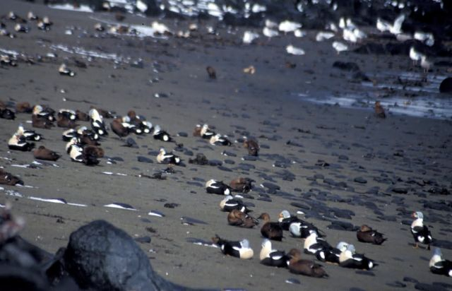 King Eiders oiled on St Paul Island Picture