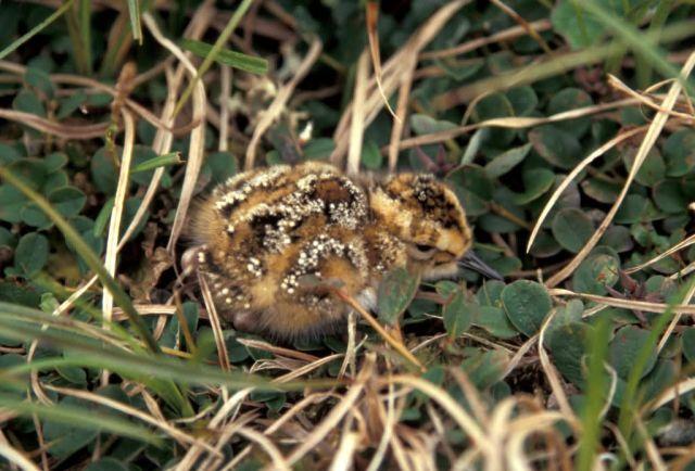 Rock Sandpiper chick Hall Island Picture