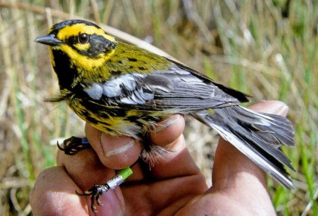Townsend's Warbler in Hand Picture