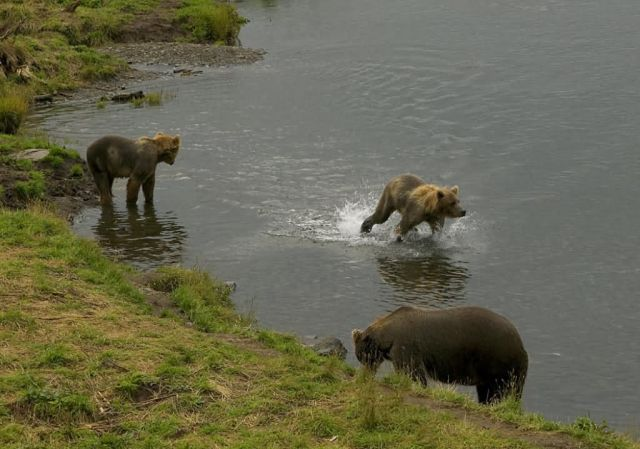 Brown Bear and Two Cubs in Stream Picture