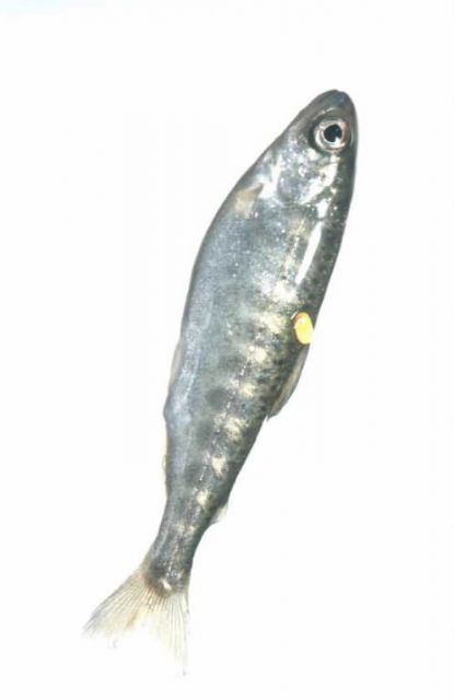 Salmon Fry Picture