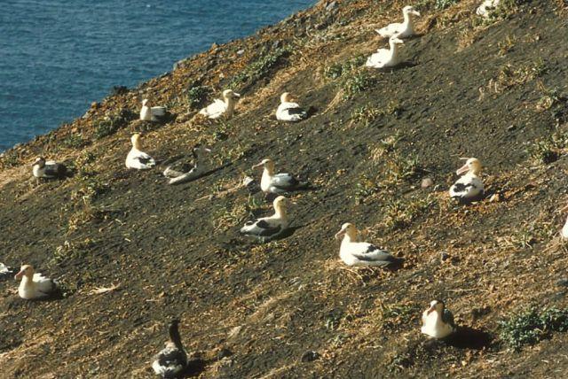 Short-tailed Albatross Nesting Picture