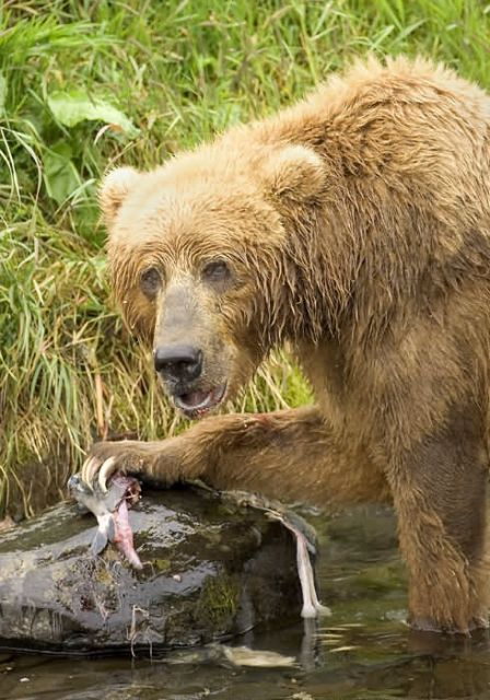 Brown Bear Feeding on Salmon Picture